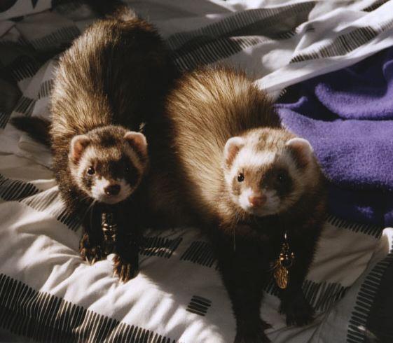 Weasel Ferret Family Weasels Stoats Ferrets